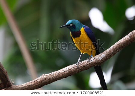 鳥 · アフリカ · 青 · 紫色 · 美 - ストックフォト © Livingwild