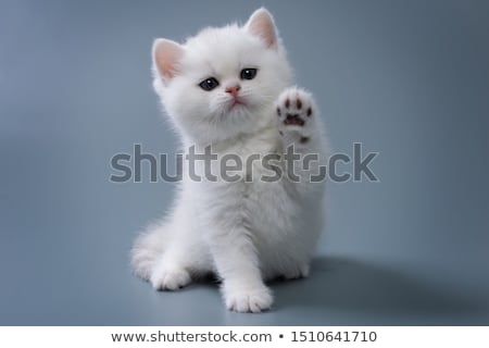 Pequeño gato egipcio calvo blanco ojo Foto stock © taden