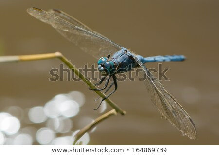 Strong Skimmer Dragonfly (Orthetrum brachiale) Stock photo © davemontreuil