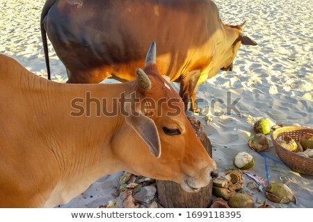 sacred cow in india feeding on garbage stock photo © meinzahn