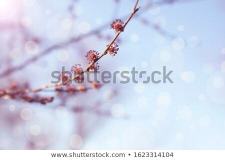 juhar · fa · virágok · égbolt · zöld · közelkép - stock fotó © tainasohlman