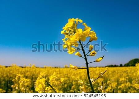 Violación campo cielo azul azul nubes cielo Foto stock © meinzahn