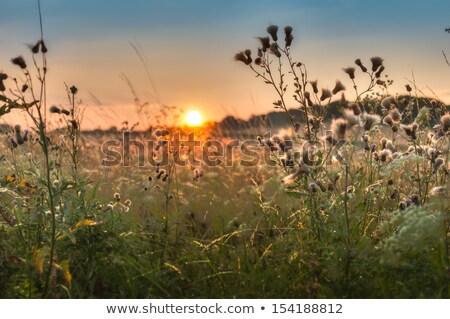 Zonsondergang veld onkruid boom gras bos Stockfoto © Kayco