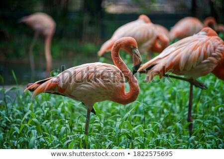кубинский фламинго молодые Постоянный один ногу Сток-фото © pavelmidi