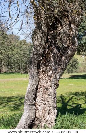 Zdjęcia stock: Holm Oak Bark