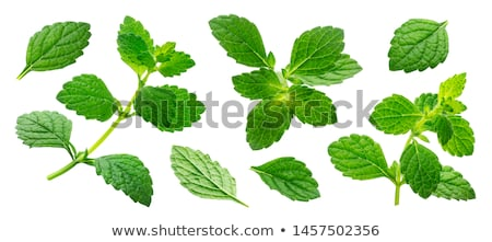 Lemon Balm Stock photo © zhekos