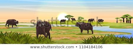 Buffalo Morning Stock photo © blamb