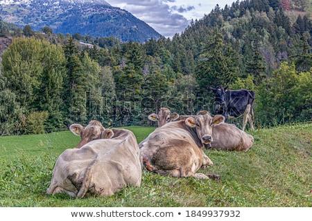 vee · lokaal · natuur · koe · boerderij - stockfoto © pedrosala