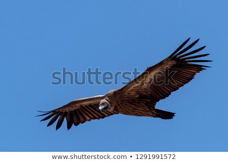 Cape vulture (Gyps Coprotheres) Stock photo © BigKnell