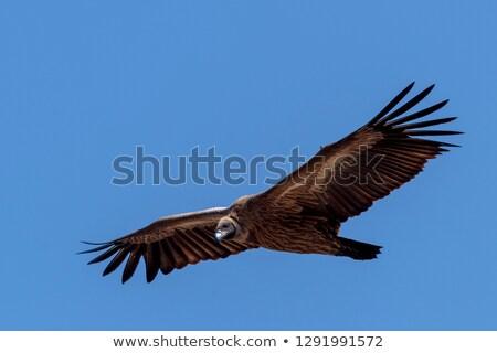 Dögkeselyű kő nyitva szárnyak Afrika hát Stock fotó © BigKnell