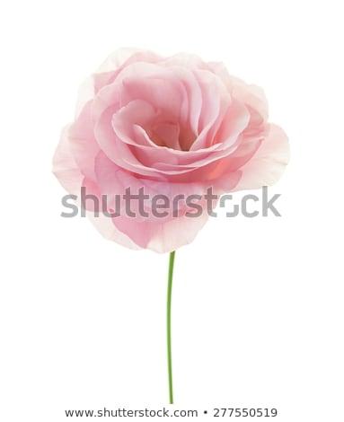 Fresh pink minimalistic eustoma isolated on white  Stock photo © Taiga