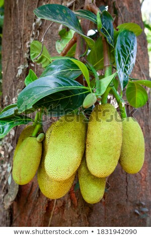 Large ripe jackfruit. India Goa. Stock photo © mcherevan