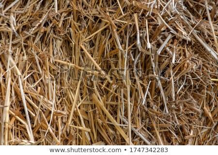 Barley Shocks in Summer stock photo © mpetersheim