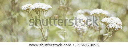 yarrow flowers Stock photo © sirylok