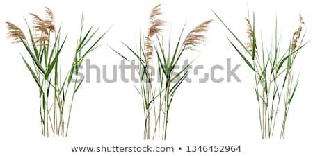 Thickets of reeds stock photo © Nekiy