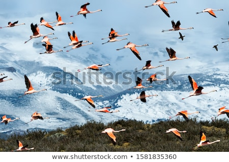 chilean flamingos stock photo © jeffmcgraw