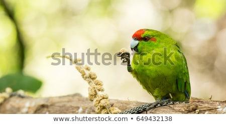Új-Zéland toll képzés stúdió papagáj citromsárga Stock fotó © cynoclub