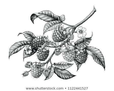 Raspberry in vintage style. Line art vector illustration stock photo © ConceptCafe
