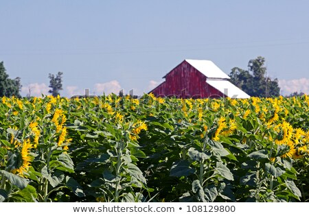 Red barn and sunflower field Stock photo © bluering