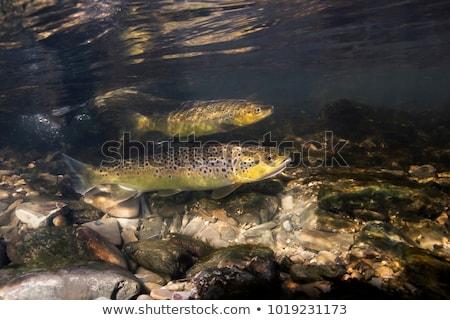 Brązowy pstrąg ilustracja ryb morza tle Zdjęcia stock © bluering