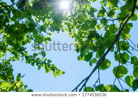 Yeşil yaprak mavi gökyüzü soyut güneş ışık Stok fotoğraf © bank215