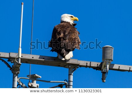 american bald eagle perched on communication tower stock photo © davidgn