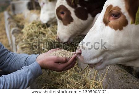 Etetés tehenek sok nagy étel fű Stock fotó © 5xinc