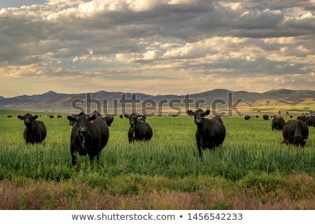 Black cow Stock photo © hamik