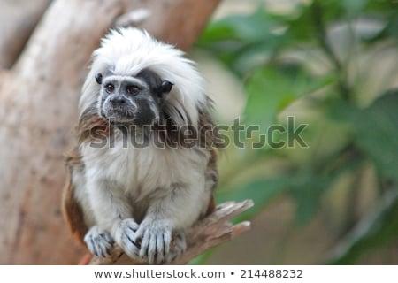 monkey tamarin sitting on a tree stock photo © oleksandro
