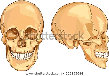arqueológico · escavação · crânios · metade · enterrado · terreno - foto stock © klinker