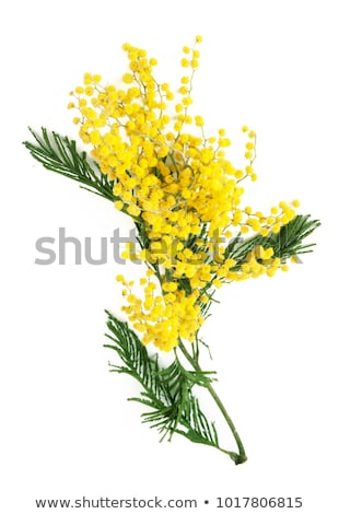 yellow mimosa flower branch on white background flowering acacia symbol of spring stock photo © orensila