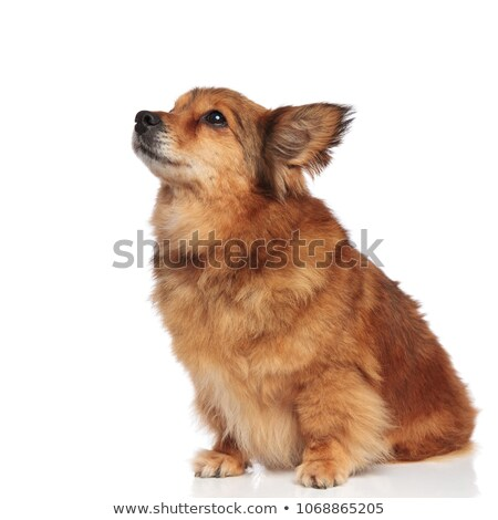 cute metis brown dog making puppy eyes and looking up Stock photo © feedough