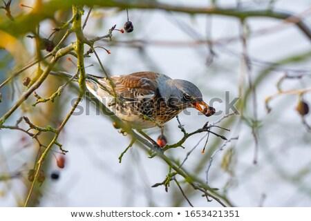 Pássaro maçã árvore fruto jardim Foto stock © manfredxy