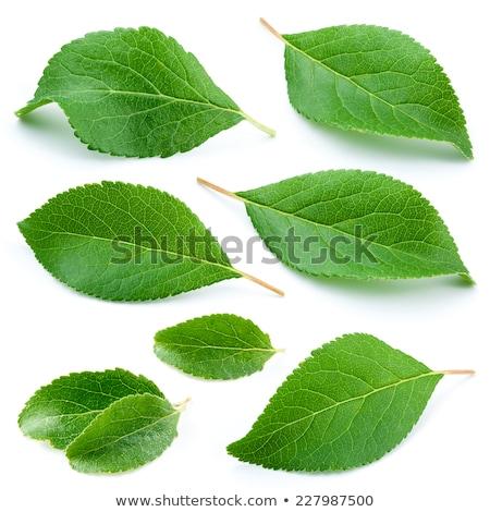 абрикос лист фрукты фон белый сельского хозяйства Сток-фото © M-studio