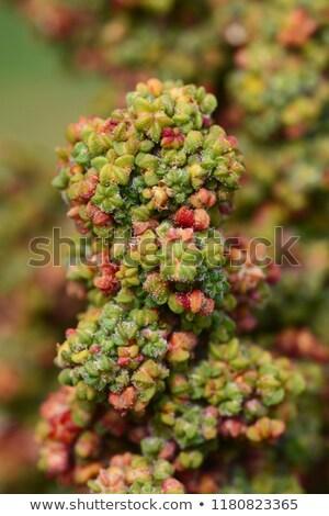 Macro of green quinoa flowers maturing on the plant Stock photo © sarahdoow