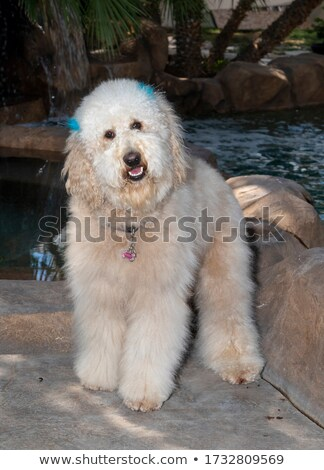 cute poodle and golden labrador retriever posing stock photo © feedough