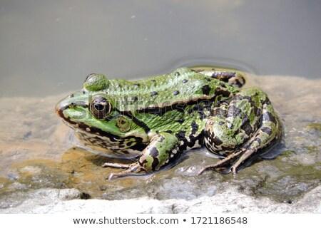 лягушка пруд иллюстрация воды счастливым природы Сток-фото © colematt