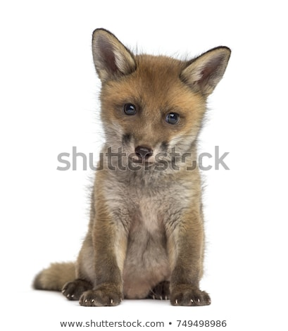 isolated red fox cub stock photo © taviphoto