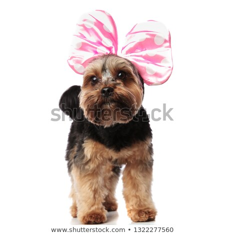 curious yorkshire terrier wearing pink ribbon looks up to side Stock photo © feedough