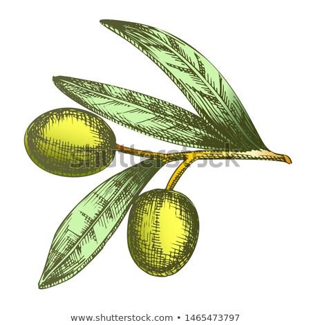Color Agricultural Item Olive Branch Vintage Vector Stock photo © pikepicture