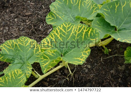Large green leaves on gourd vine with yellow vein markings Stock photo © sarahdoow