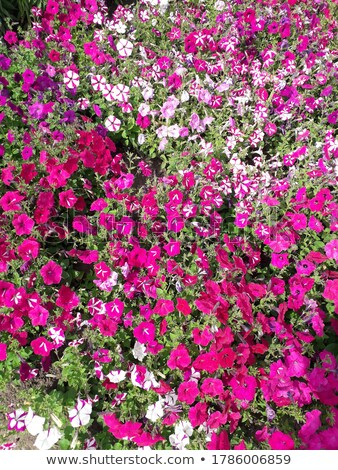 Profusion of petunias Stock photo © jsnover