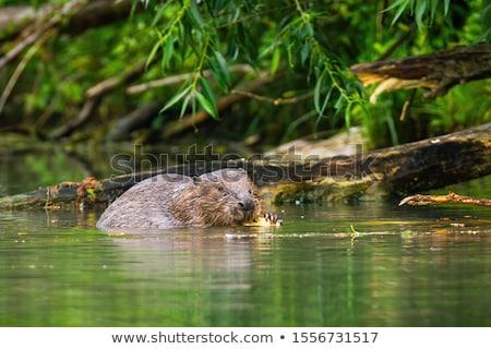 Adult beaver animal Stock photo © olira