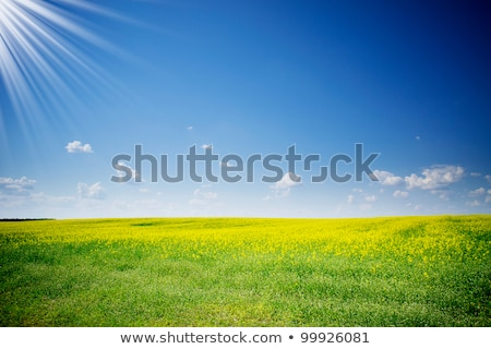 Rapefield and cloudscape with sunbeams. stock photo © lypnyk2