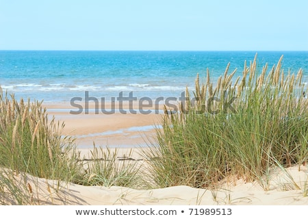 green and yellow beach grass at the ocean stock photo © frankljr