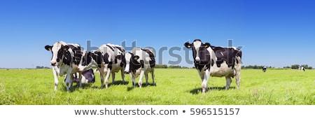 tehenek · zöld · mező · hegyek · farm · tájkép - stock fotó © elenarts