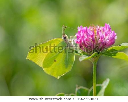 kelebek · görüntü · makro · çiçekler · doğa · hayvan - stok fotoğraf © rbiedermann