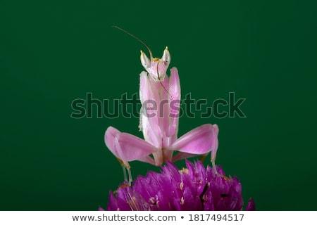ストックフォト: 緑 · グラスホッパー · ピンクの花 · 自然 · 食品 · 葉