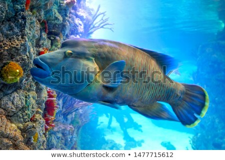fish - Cheilinus undulatus Stock photo © cookelma