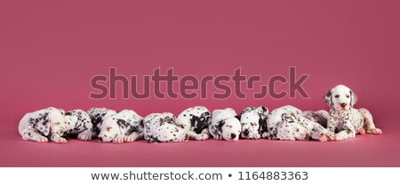 sleeping dalmatian Stock photo © feedough
